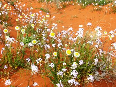Wildflowers on Merty Merty sand-dune